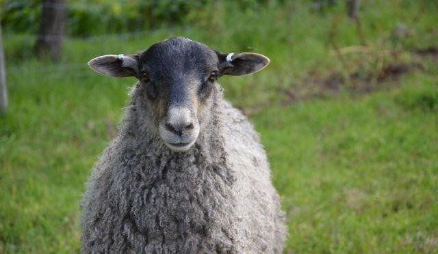 Färska lammstekar i kyldisken!